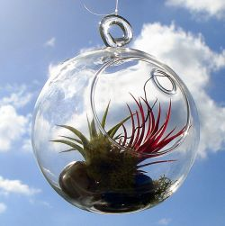 596px-Hanging_air_plants_terrarium